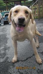 13-08-3018 is an adoptable Labrador Retriever Dog in Dallas, GA.  Primary Color: Yellow Age: 0yrs 0mths 0wks...