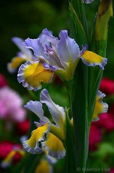 Iris 'Cherub in Blue' In Italy garden. Gorgeous!