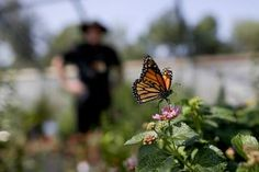 Monarchs get help from unlikely source: California's drought - Particle News