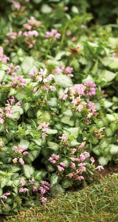 Pink Chablis Labium Is A Flowering Groundcover And Hardy To Zone 4 The