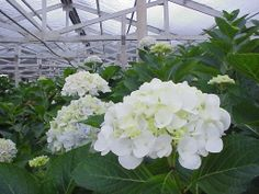 Miriam e-mailed me today 3-05... I am looking to see if will have white hydrangeas in September . Please let me know.Thanks!  I sent her this picture I took last September...