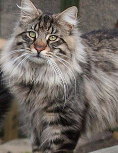 Shallowspot:   Rank: StormClan Warrior  Alive or Dead: Alive norwegian forest tom with white and grey stripes.