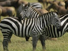 A zebra's entire body is covered with stripes. A zebra's stripe pattern, like the giraffe's pattern, is unique. No two zebras have exactly the same stripe pattern.
