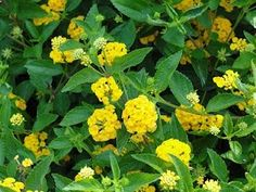 Lantana: beautiful little flowers that come back every year.  I miss having Lantana.  Found a perfect spot here & ill plant some ths weekend.  Attracts so many butterflies.