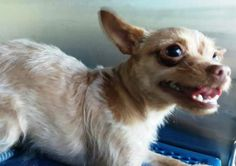 Animal ID\t34203725 \r\nSpecies\tDog \r\nBreed\tChihuahua, Long Coat\/Mix \r\nAge\t3 years 1 day \r\nGender\tFemale \r\nSize\tSmall \r\nColor\tTan \r\nSite\tCity of El Paso Animal Services \r\nLocation\tKennel B \r\nIntake Date\t12\/12\/2016 \r\n