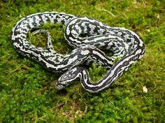 Corn Snake - Anery Tessera Morph