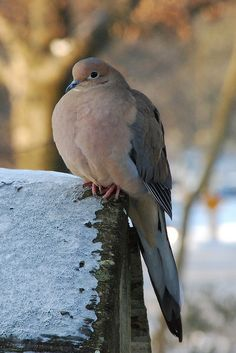 morning dove