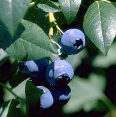 tips for growing blueberries in the ground or in containers