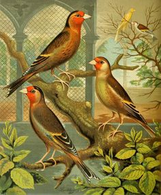 Goldfinch and Canary Mule. Plate taken from 'The Illustrated Book of Canaries and Cage-birds, British and Foreign' by W.A. Blakston, W. Swaysland and August F. Wiener  Published 1878 by Cassell, Petter, Galpin & Co.