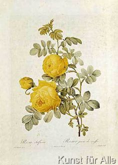 Pierre Joseph nach Redoute - Rosa Sulfurea  from 'Les Roses' by Claude Antoine Thory (1757-1827) engraved by Eustache Hyacinthe Langlois (1777-1837) 1817