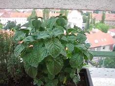 BYLINKY NA MÉM BALKÓNĚ. Pesto, Balcony, Spices, Herbs, Plants, Terrace, Herb, Flora, Plant