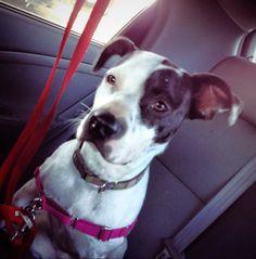 Thelma  Pit Bull Terrier • Adult • Female • Medium  Lake Charles Pit Bull Rescue lake charles, LA