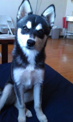 Xion (Alaskan klee kai) - definitely has the angry white eyebrows Cute Puppies, Dogs And Puppies, Cute Dogs, Doggies, Pretty Animals, Cute Animals, Miniature Husky, D Is For Dog, Alaskan Klee Kai