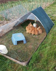 Pasturing Rabbits SAFELY in a mobile 'tractor'