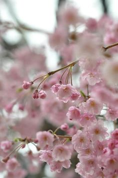 Sakura, Hiroshima