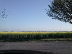 Fields of sweet smelling Rapeseed make me happy, summer is coming