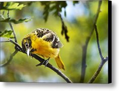 Musing Baltimore Oriole Canvas Print / Canvas Art By Christina Rollo
