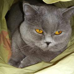 My scotish cat Zabava