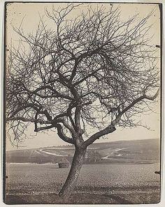 Apple tree (1900)  Eugène Atget French, 1856-1927