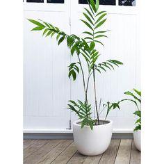 Bamboo Palm in Bianca Pot