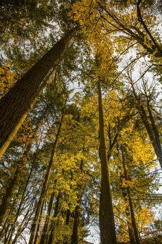 olympic peninsula tree canopy by markbowenfineart via http://ift.tt/2t6aogE