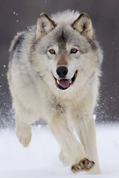 A playful Wolf