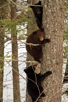 Black bear cubs, Glacier National Park, Montana