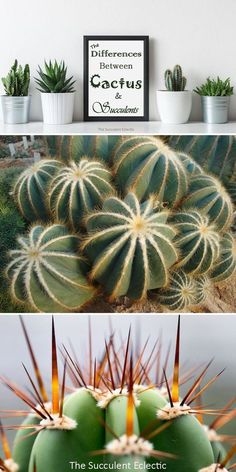 is the difference between cactus and succulents? How can you tell them apart? What makes cactus unique among all plants? Read on and find out! Types Of Cactus Plants, Cactus House Plants, Indoor Cactus, Buy Cactus, Cactus Flower, All Plants, Flower Pots, Unique Plants, Cactus Decor