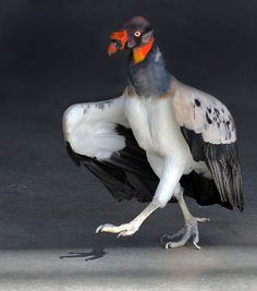 King vulture strutting... photo by buddha's ghost