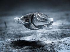 Reef Cuttlefish - Sepia latimanus - stock photo
