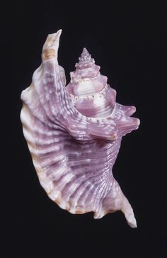 Rooster-tail conch (Lobatus gallus)