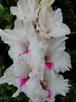 Gladiolus bright-eyed Winter Krasheninnikov)