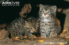 One week old Scottish wildcat in den