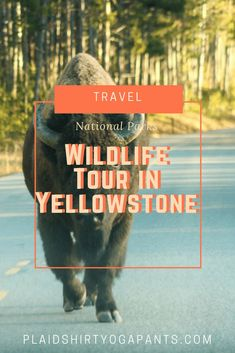 I booked Yellowstone Guidelines in Yellowstone National Park so I could see all the animals in Yellowstone, I saw Bison, Foxes, Big Horn Sheep, Wolves and more! Click to read my review of my amazing experience with Viator.