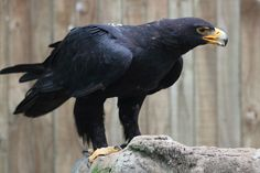 All types of eagle birds in the world with amazing facts. Eagles are some of the largest birds. They are at the top of the food chain, with some species feeding on big prey like monkeys and sloths. Raptors, Types Of Eagles, Largest Bird Of Prey, Wedding Birds, Artificial Birds, Black Eagle, Eagle Bird, Vintage Birds, Birds Of Prey