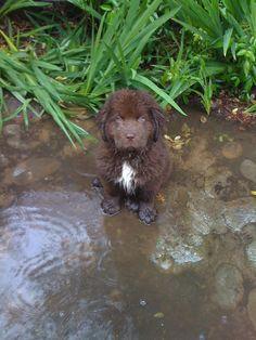 Rain+Newf Puppy=Heaven