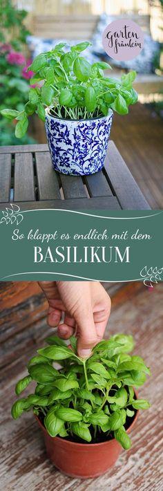 Basilikum richtig pflegen. Mit diesen Tipps klappt es endlich mit dir und dem leckeren Basilikum! Hier findest du eine Anleitung mit Pflege-Tipps für´s Basilikum.
