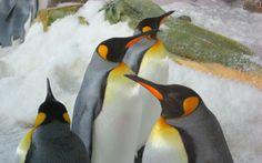Emperor penguin | Emperor Penguin by Graham Bradley in Emperor Penguin on Fotopedia ...