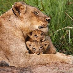 Lion and cubs, Kruger National Park, South Africa Cute Baby Animals, Animals And Pets, Kids Animals, Farm Animals, Amazon Rainforest Animals, Lioness And Cubs, Baby Cubs, Baby Lions, Lion Love