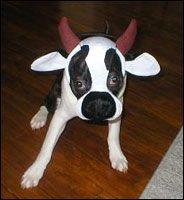boston terrier halloween costume showcase littlebeastscom omg to cute - Halloween Costumes In Boston