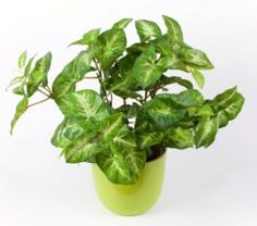 Arrowhead Plant is a member of the Araceae family -- along with the philodendron -- and is just as easy to care for. Give it bright light and lightly moist soil, and you'll find that it's otherwise low-maintenance.