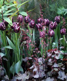 Tulips og alunrot