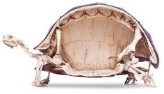 Tortoise Skull Tortoises and turtles are the only reptiles with tough, bony shells. Tortoise Turtle, Tortoise Shell, Tortoise Care, Quizz Disney, Russian Tortoise, Animal Skeletons, Animal Skulls, Bizarre, Reptiles And Amphibians