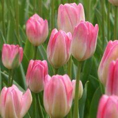 Tulip Hatsuzakura
