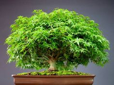 A Gorgeous Bonsai