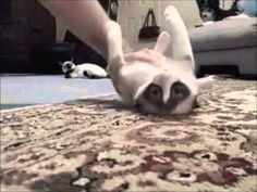 Over 50 funny fail Cat videos - http://aobcat.com/2016/05/07/over-50-funny-fail-cat-videos/