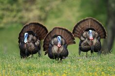 It's here!!! Love turkey hunting so much.   Three turkey strutting their stuff near a hen in Cades Cove, GSMNP, TN.