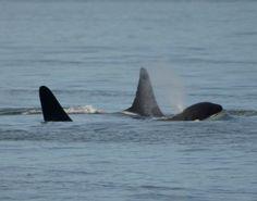 Wild Orca off Victoria BC. Cappuccino and Raggedy (RIP).
