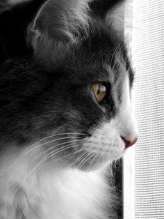 Cassandra #cat #norwegianforestcat # Moochieland