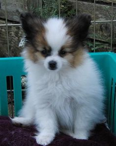 funniest little animals ever!  I want one so bad.  <3 papillons